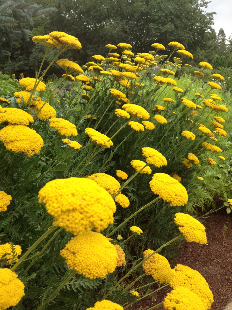 denver botanic garden yellow