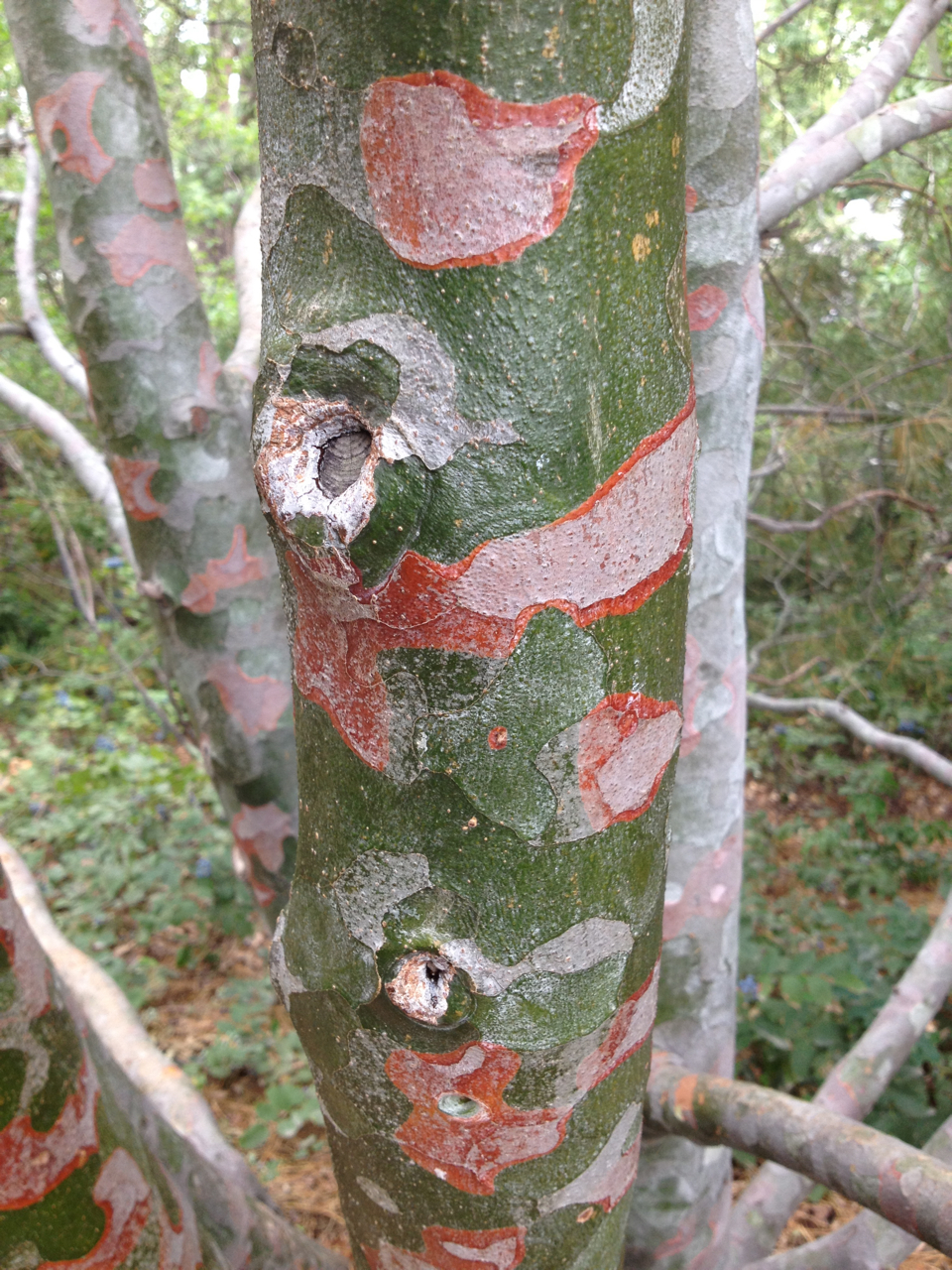 tree denver botanic garden